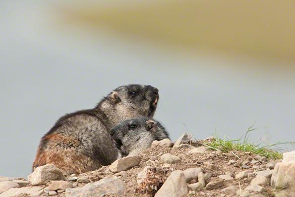 Alaska Marmot by Moose Peterson Wildlife Photographer