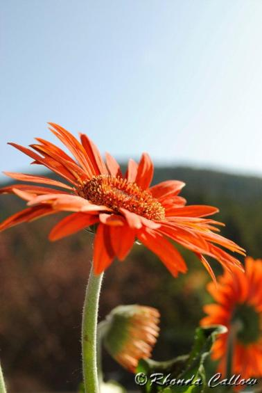Orange Flowers with Mountain Background