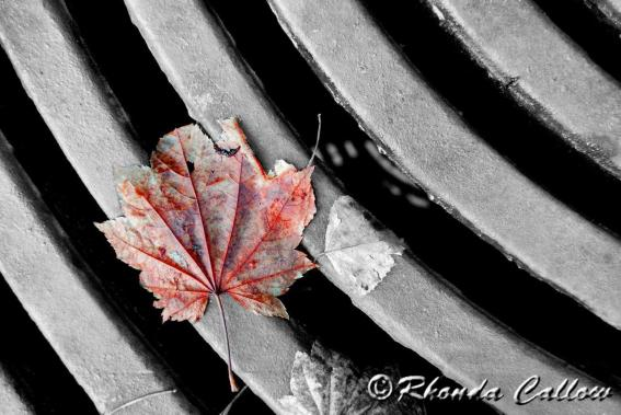 Selective Coloring Autumn Red Leaf