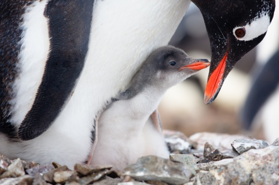 Adult penguin protecting her baby