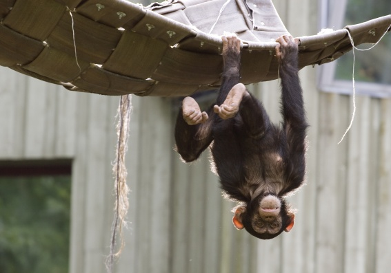 Playful chimpanzee hanging upside down in a zoo
