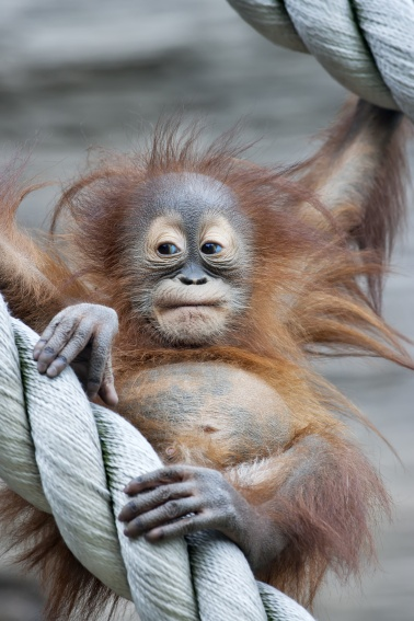 A young orangutan in a zoo