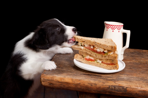 Newborn border collie puppy stealing a sandwich