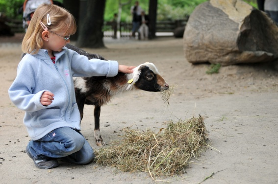 Little girl with baby goat eating hay at petting zoo