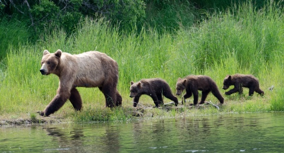 Mother brown bear and cubs walking along the shore of a lake in Alaska
