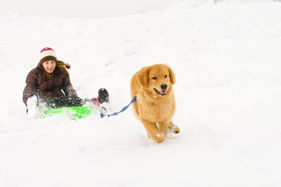 Golden Retriever dog pulling sled with girl in the snow
