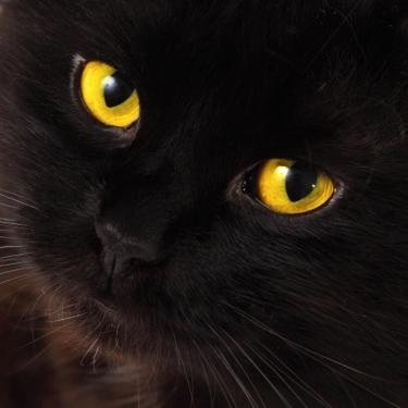 Close-up photo of a black cat with striking yellow eyes