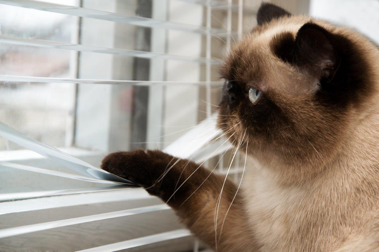 Cat Looking Out The Window Blinds
