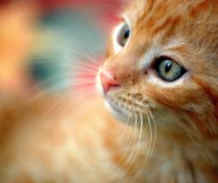 Photo of an orange cat's face with a shallow depth of field