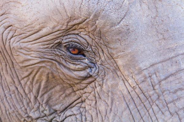 Elephant eye wrinkly, dry skin close-up