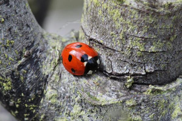 Close-up photo of a ladybug on the rough bark of a tree