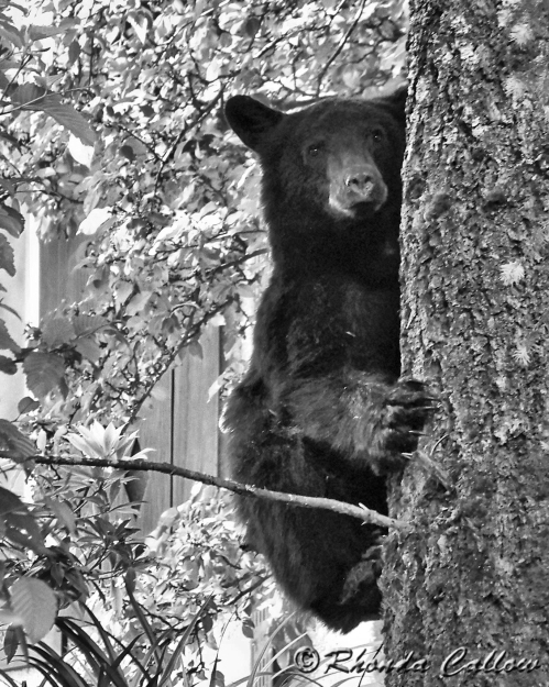 Baby Black Bear in Black and White